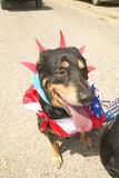 Dog wearing patriotic costume for the Fourth of July, in Lima Montana Royalty Free Stock Photos