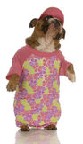 Dog wearing pink dress Stock Image