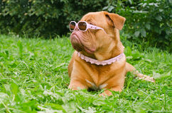 Dog wearing pink glasses and collar in the grass Royalty Free Stock Photos
