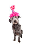 Dog Wearing Pink Party Hat Royalty Free Stock Images