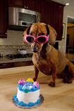 Dog wearing pink sunglasses with birthday cake. Doxie Dog wearing pink sunglasses with birthday cake sitting on kitchen table stock image
