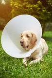 Dog wearing plastic cone collar Stock Images
