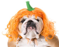 Dog wearing pumpkin costume Royalty Free Stock Photography