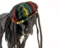 Dog wearing rastafarian hat Stock Photos