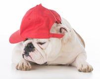 Dog wearing red ball cap Stock Photo