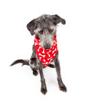 Dog Wearing Red Bone Bandana Looking Down Stock Photo