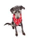 Dog Wearing Red Bone Bandana Looking Down Stock Photo