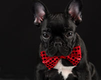 Dog wearing red bowtie. French bulldog wearing red bowtie on black background Stock Photos