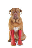 Dog Wearing Rubber Boots. Big Dog Wearing Big Red Rubber Boots stock image