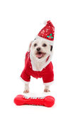 Dog wearing Santa Claus costume. A happy dog wearing a Santa Claus costume with a red Hohoho bone dog toy on the floor Royalty Free Stock Photography