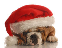 Dog wearing santa hat Stock Images