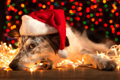 Dog wearing santa hat. Border collie Australian shepherd mix dog lying down on white chirstmas lights with colorful bokeh sparkling lights in background looking Stock Photo