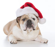 Dog wearing santa hat Royalty Free Stock Images