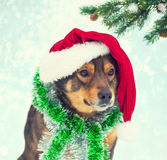 Dog wearing Santa hat Royalty Free Stock Image
