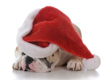 Dog dressed up for christmas. Dog wearing a santa hat  on white background Royalty Free Stock Images