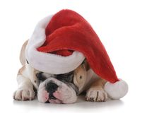 Dog dressed up for christmas. Dog wearing a santa hat  on white background Stock Photography