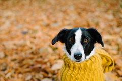 Dog wearing scarf on autumn season Stock Photo