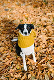 Dog wearing scarf on autumn season Stock Photos