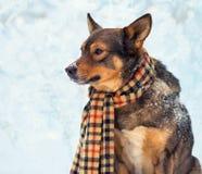 Dog wearing scarf Stock Photo