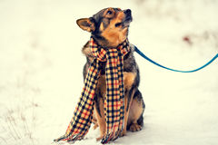 Dog wearing scarf Stock Photo