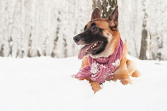 Dog wearing scarf walking outdoor Royalty Free Stock Image