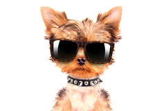 Dog wearing a shades Royalty Free Stock Photography