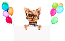 Dog wearing a shades and scarf with banner Royalty Free Stock Photo