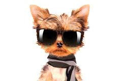Dog wearing a shades and scarf Stock Image