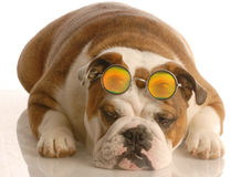 Dog wearing silly glasses Stock Photos