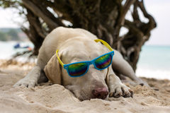 Dog wearing sunglasses. Adorable cool dude dog wearing sunglasses laying on the beach Royalty Free Stock Images