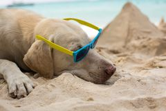 Dog wearing sunglasses. Adorable cool dude dog wearing sunglasses laying on the beach Stock Image