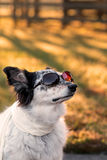 Dog wearing sunglasses and scarf Stock Images