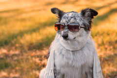 Dog wearing sunglasses and scarf Stock Photo