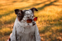 Dog wearing sunglasses and scarf Royalty Free Stock Images