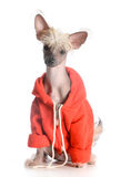 Dog wearing sweater Royalty Free Stock Photos