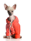 Dog wearing sweater Royalty Free Stock Image