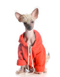 Dog wearing sweater Royalty Free Stock Images