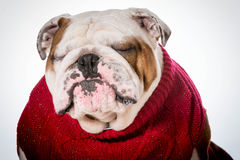 Dog wearing sweater Royalty Free Stock Photography