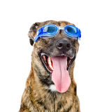 Dog wearing swimming goggles isolated on white background.  stock photo