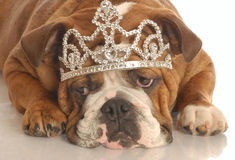 Dog wearing tiara Stock Image