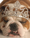 Dog wearing tiara Stock Images