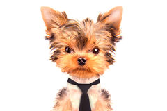 Dog wearing a tie. Cute puppy dog wearing a tie on white background Stock Images