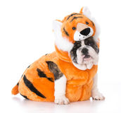 Dog wearing tiger costume Stock Image