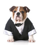 Dog wearing tuxedo Royalty Free Stock Photos