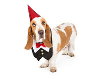 Dog Wearing Tuxedo Vest and Party Hat Royalty Free Stock Photo