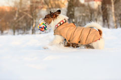 Dog wearing warm outfit having fun in cold snowdrift Royalty Free Stock Photography