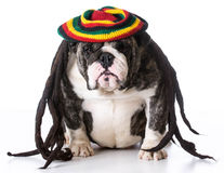 Dog wearing wig Royalty Free Stock Photos