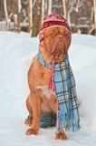 Dog wearing winter clothing Stock Images
