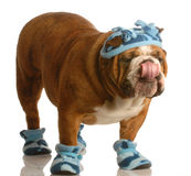 Dog wearing winter hat and boots. English bulldog standing wearing blue hat and winter boots stock photography