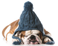 Dog wearing winter hat Stock Image